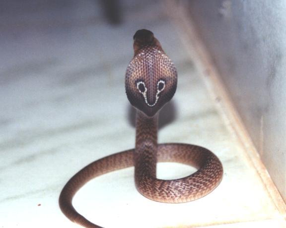 фото змеи с шариком на хвосте этой породы отличаются