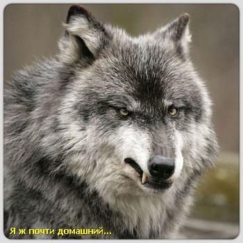 И волк и семеро козлят мы