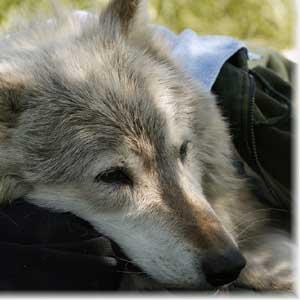 Волки обитают на земле уже более