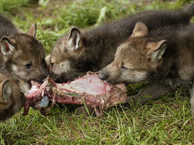Волчата (огромная коллекция)