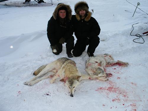На волка охотятся зимой с флажками, летом устраивают облавы, ловят