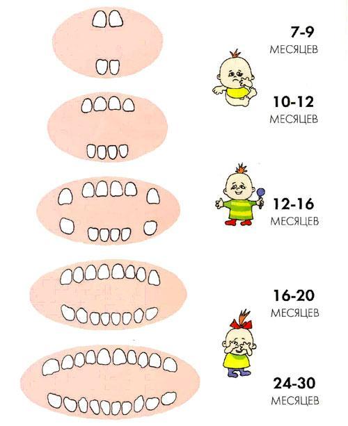 Схема роста молочных зубов…