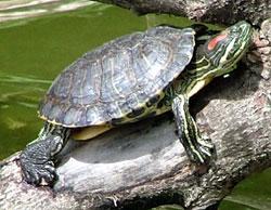 аллергия на красноухую черепаху симптомы