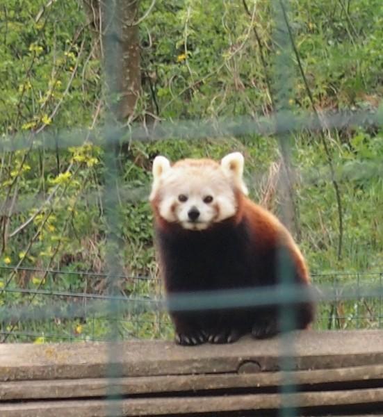 Как выглядит красная панда
